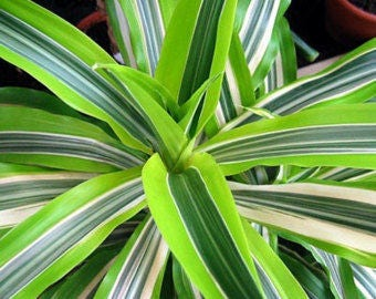 """Ocean Spider Plant - 4"""" Ceramic white Pot for Better Growth - Cleans the Air/Easy to Grow (FREE SHIPPING"""