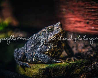 Sophisticated Toad - Large Print - Amphibian wall art - Outdoor Photography by Danielle Vetterkind