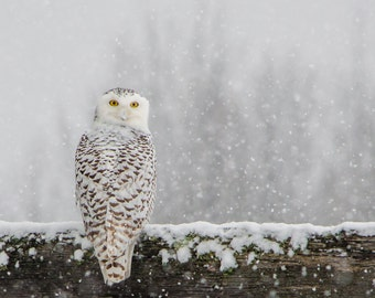 Snowy Owl Print, Snowy Owl in Snow, Winter Art, Snowy Owl