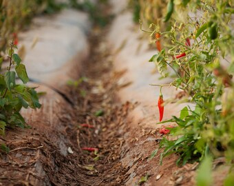 Digital photography Downloadת Natural,  peppers fields photo, home decor, Digital download, peppers fields, Hot Pepper fields, Digital Photo