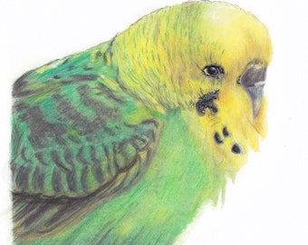 Grass parakeet/Budgie yellow-green