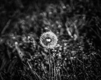 """Dandelion In Nature Black And White Art Print Entitled """"Soft Hearts"""". Wall Decor, Photograph"""