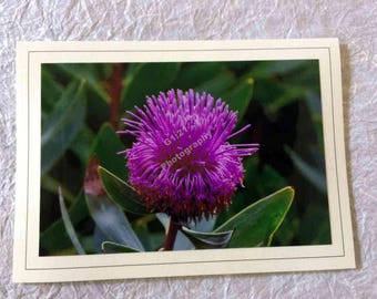 Hand Made Blank Photo Note Card-05 Sterling Range Coneflower