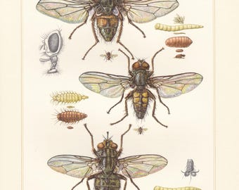 Vintage lithograph of housefly, stable fly, lesser house fly from 1956