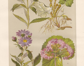Vintage lithograph of coltsfoot, hemp-agrimony, european michaelmas daisy, sunflower family from 1911