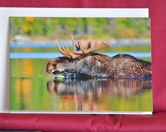 "Bull Moose swimming 5""x7"" Wildlife Photo card"