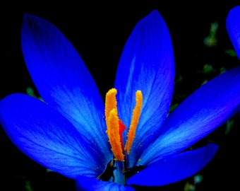 "Photo print ""Crocus flower"", Makropfotographie"