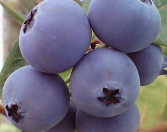 Bluecrop Blueberry Plants - Vaccinium corymbosum - Blue Berry Crop - 4 to 8 Inches tall - Ready To Plant -- Bitcoin accepted here!