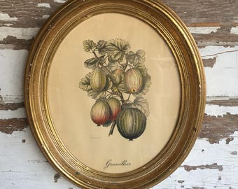 Vintage Botanical Print Gooseberries by Severeyns - Oval Picture Frames - Tinted Lithograph
