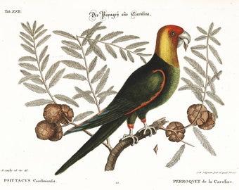 Carolina Parrot - Mark Catesby ~  1740 ~ Wildlife lithograph print ~ Natural History of Carolina ~ Giclee Art Print - Bird Wall Art