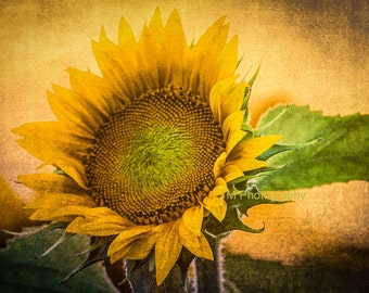 Sunflower - Kansas - Kansas State Flower - State Flower - Sun - Flower - Yellow Sunflower - Fine Art Photography