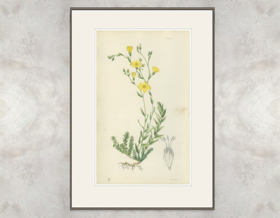 Yellow Sea Flax, Rare Antique Print, Linum Maritimum, 1871/5