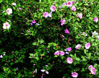 purple flower photo, Rose Of Sharon photography, flowering bush, lavender, garden, green, mother's day gift, shabby chic, home decor, art