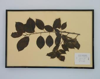 Vintage 1968 botanical specimen by Maine arborist - Common Chokecherry
