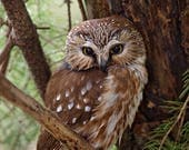 "Custom order for Lori Hall , Northern Saw-Whet owl, 5x7"" archival print"