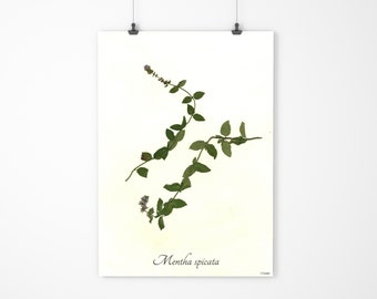 Botanical Art - Pressed Flower Art - Herbarium Pressed Botanical Wall Art - Spearmint
