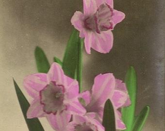 Hartelijk Gefeliciteerd Vintage Real Photo Dutch Postcard Hot Pink Daffodils