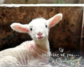 thinking of you -  - fine lamb cards (and so farm fresh)