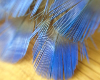 RARE Fairy Bluebird feathers - vintage feathers from 1920s taxidermy