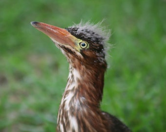 Baby black-crowned night heron-2: 5 x 7 photograph CHARITY DONATION
