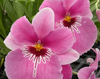 Miltoniopsis Lover's Point orchid, blooming size