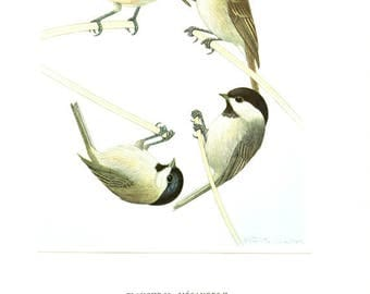 1961 Vintage grey headed chickadee print Vintage bird poster Siberian tit poster Somber tit art Marsh tit poster Bird gift Willow tit print
