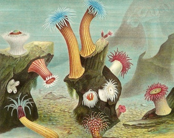 1882 Antique print of SEA ANEMONES. Sea Life. Marine Animals. Anemone. 134 years old gorgeous lithograph.