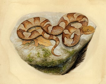 Northern Copperhead - 8x10 inch print by Matt Patterson, snake print