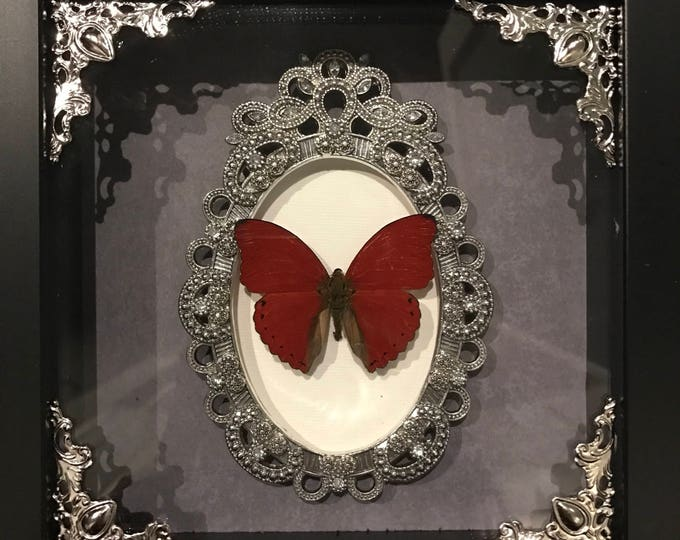 Real taxidermy red flasher butterfly display!