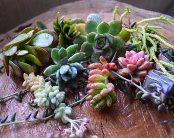 Succulent Cutting 10 pcs.