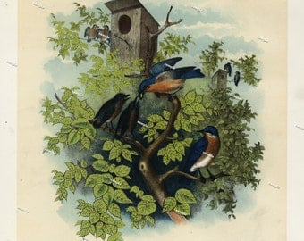 19th Century ChromoLithograph print of The Blue Birds original print decorative art nature print Birds of North America first Edition 1887
