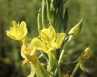 Evening Primrose Herbal Use and Medicinal Properties Seeds Organic