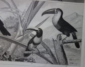 BIRDS poster 1849 original old bird print antique vintage pictures of bird tucan toekan toucan parrot illustration cockatoo parakeet trogon