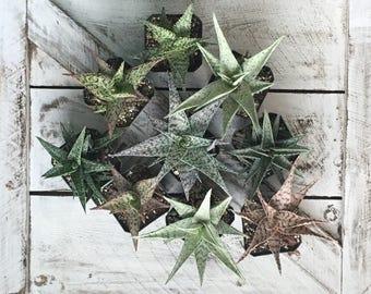 4 Pack Aloe Succulent Live Plant Assortment Rare Plants