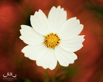 "Discounted 8x10"" cosmos flower photo print - white cosmos orange background botanical art print"