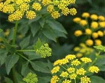 Zizia- Aurea- Golden Alexanders- 50 Seeds -