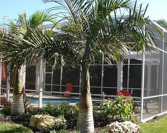 Spindle Palm - Tropical seeds - Hyophorbe Verschaffeltii