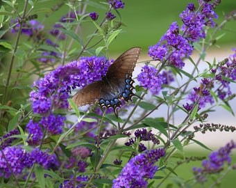 Buddleja Davidii, Butterfly Bush,  500+ Seeds
