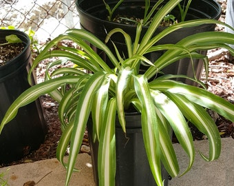 Live Healthy Variegated Spider Plant in 5 inch pot.  Grown organically without pesticides!  Cannot ship to CA, AZ, HI
