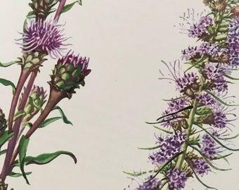 Scarious Blazing Star, Liatris scariosa and Blazing Star, Laitris pycnostachya, Vintage illustration flower print 1954 wildflower