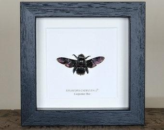 Carpenter Bee in Box Frame (Xylocopa caerulea)