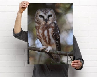 Saw Whet Owl  Wildlife Photography Print - 24 X 18