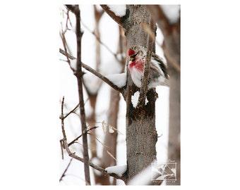 Redpoll, Songbird – Wildlife, Animal, Nature, Outdoor, Bird, Photography, Home Décor, Wall Art, Picture, Prints, Canvas – Alberta, Canada