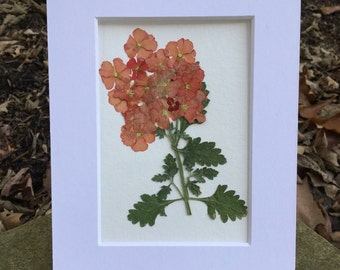 Real Pressed Flower Art Botanical Herbarium Specimen of salmon coral Vebena 5x7 OR 8x10