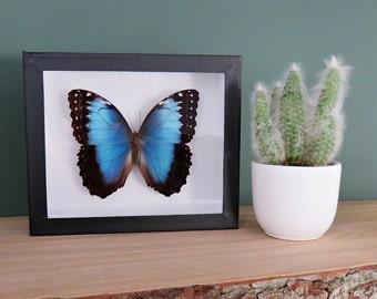 Morpho deidamia // blue morpho // insect museum box //  shadowbox // blue butterfly