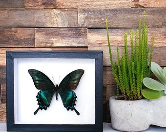 Real framed butterfly: Papilio maackii // shadowbox // mounted