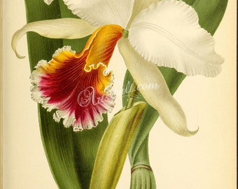 flowers-29124 - cattleya rex king Cattley flower wild Peru peruvian orchid orchids Orchidaceae printable vintage illustration catleya print