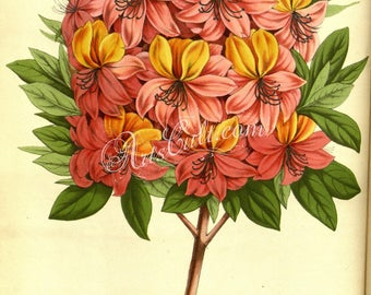 flowers-12551 - azalea vanhouttei digital floral botanical vintage plate illustration antique book public domain image scan large size jpeg