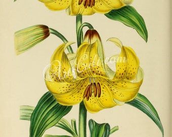 flowers-17787 - lilium loddigesianum, Lilium monadelphum Lily vintage digital illustration public domain picture image high resolution print