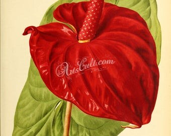 flowers-28041 - anthurium lawrenceanum vintage illustration digital download book page paper public domain high resolution picture image jpg